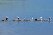 Canada geese (Branta canadensis)   on the English River<br />Ear Falls<br />Ontario<br />Canada