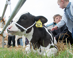 © Licensed to London News Pictures. <br /> 13/08/2014. <br /> <br /> Danby, North Yorkshire, United Kingdom<br /> <br /> A young calf sits on the floor during the Danby Agricultural Show in North Yorkshire. <br /> <br /> This year is the 154th show which was founded in 1848. It is the oldest agricultural show in the area and offers sheep dog trials, judging of a variety of different animals such as cattle, sheep, ferrets, horses and rabbits along with different classes of horticulture and dairy. <br /> <br /> Photo credit : Ian Forsyth/LNP