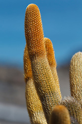 Detailed view of a lava cactus (Brachycereus nesioticus), Galapagos Islands National Park, Bartolome Island, Galapagos, Ecuador