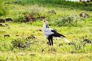 Secretary Bird (Sagittarius serpentarius) in the savanna. Photographed in Serengeti National Park, Tanzania