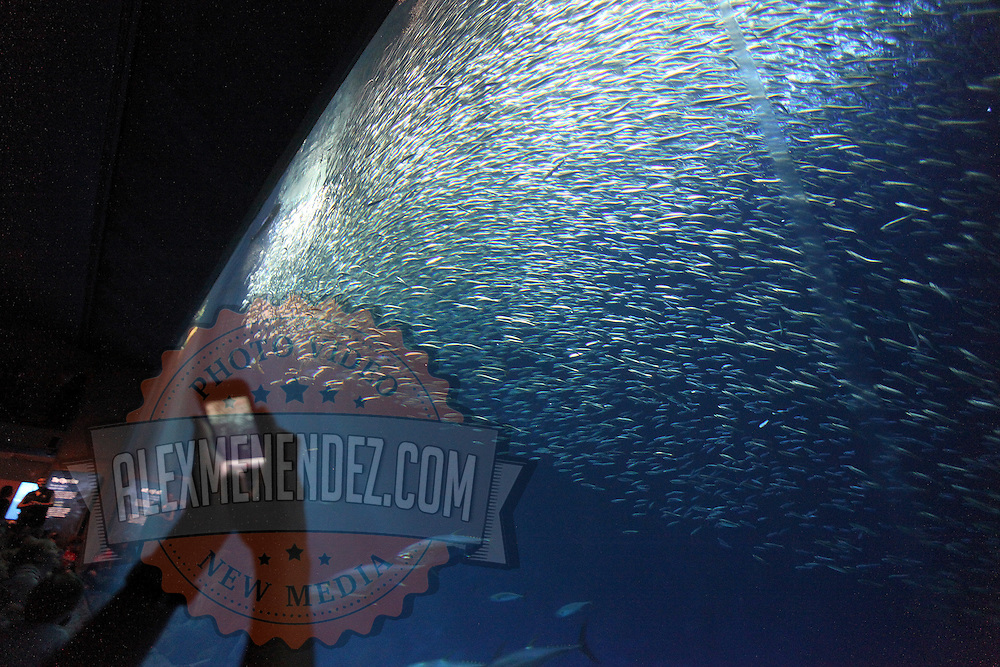 """The fish inside the """"Open Seas Exhibit"""" at the Monterey Bay Aquarium, which is located on Cannery Row in Monterey, California, on Friday July 13, 2012.(AP Photo/Alex Menendez)"""