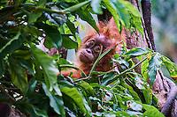 Singapour, Singapore Zoological Gardens, Mandai Zoo, Orang-outang (Pongo borneo) // Singapore, Singapore Zoological Gardens, Mandai Zoo, Orangutans (Pongo borneo)