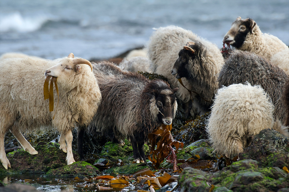 The sheep on North Ronaldsay are unique to that island in the Orkney's of Scotland.  They feed exclusively on seaweed and will die if left to feed on grass in the surrounding pastures.  The island council maintains a stone fence around the island to keep the sheep on the beaches.