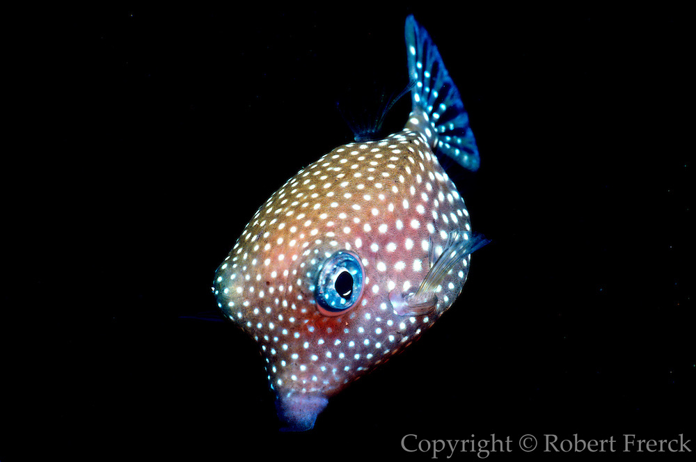UNDERWATER MARINE LIFE HAWAII FISH: Trunkfish Ostraciidae