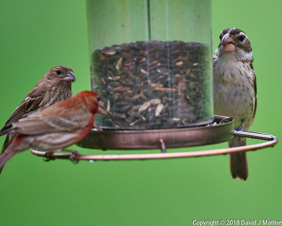House Finch and Rose-crested Grosbeak. Image taken with a Nikon D810a camera and 600 mm f/4 VR telephoto lens.