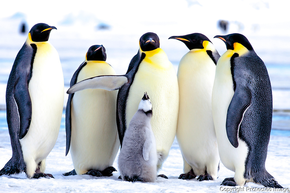 Emperor Penguins Listen Here Kid