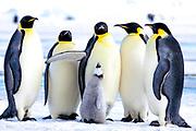 Emperor Penguins Listen Here Kid