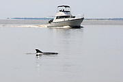 Bottlenose Dolphin swimming near fishing boat in the inter coastal waterway of Jekyll Island.