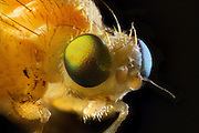 Portrait of a miniature white fly (Order: diptera). Western, Oregon.