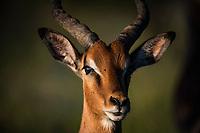 Sub-adult Impala ram portrait, Hluhluwe-iMfolozi Game Reserve, KwaZulu Natal, South Africa