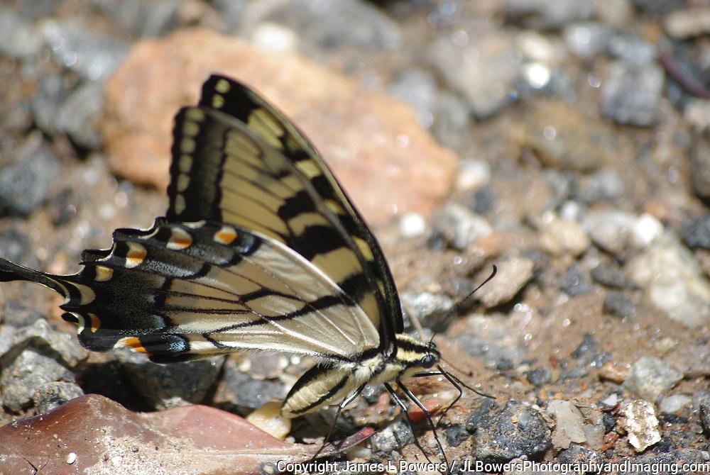 Tiger Swallowtail-Smokey Mtns-NC