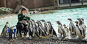 ZSL London Zoo Annual Count<br /> 4th January 2016 <br /> London Zoo, Regent's Park, London, Great Britain <br /> <br /> Janet Abrev counts the Humboldt Penguins <br /> <br /> <br /> <br /> Photograph by Elliott Franks <br /> Image licensed to Elliott Franks Photography Services