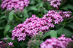 Pentas Glitterati 'Purple Star'