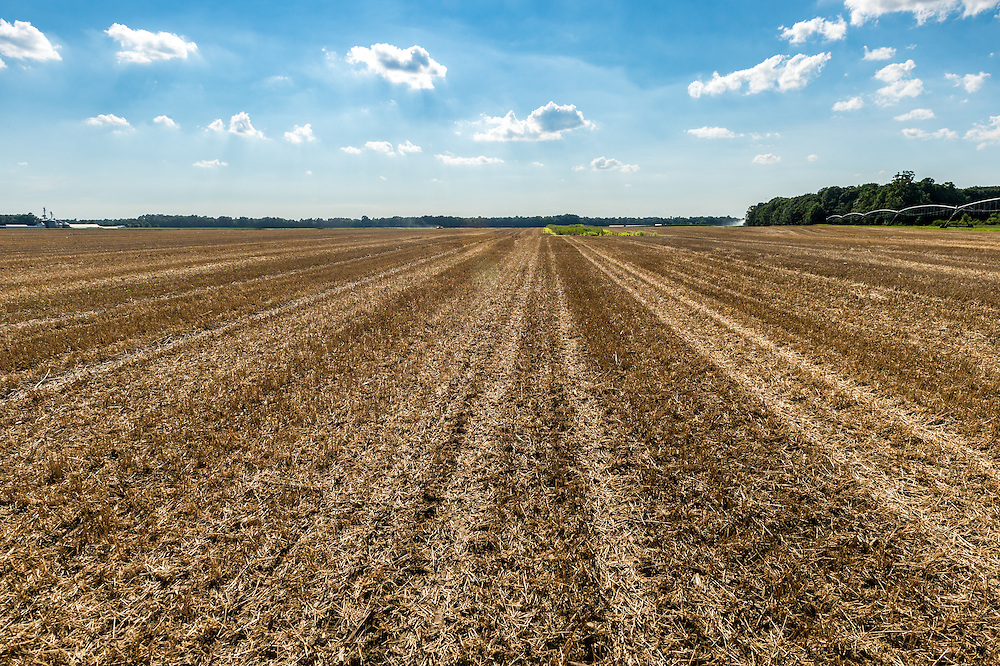 Rows of harvested crops on a farm located in Federalsburg, Maryland.