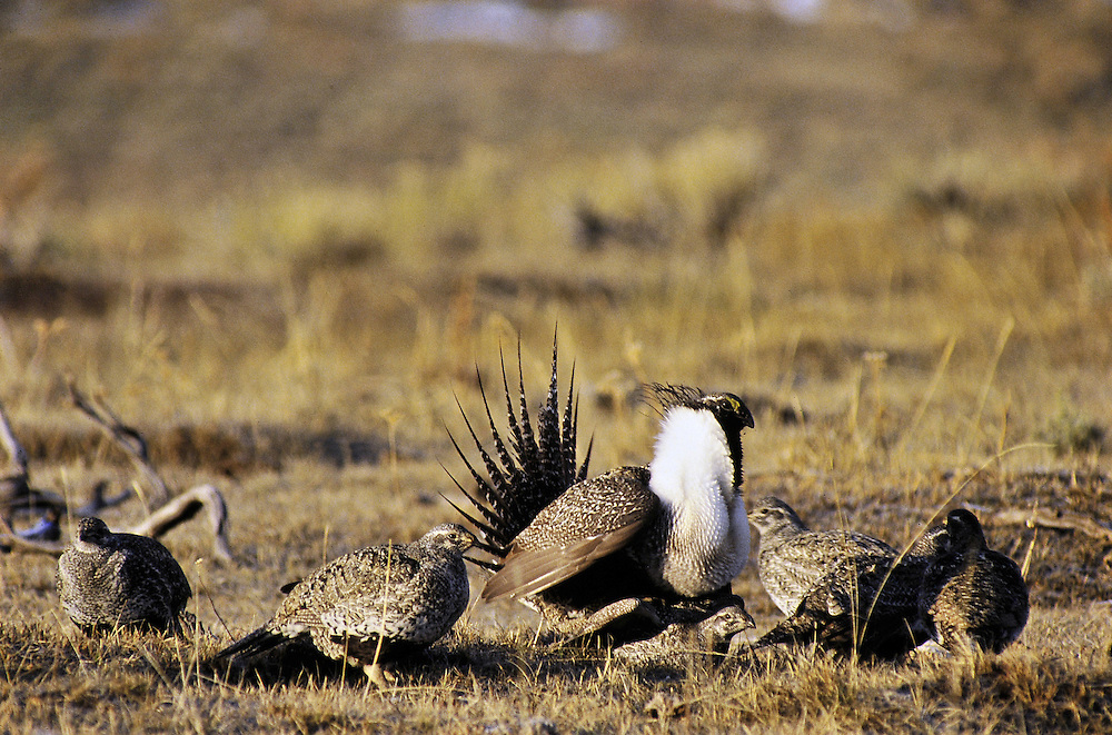 The alpha male in this lek (traditional breeding ground)<br />