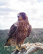 Sole surviving juvenile peregrine from the brtood of 4, here at about 10 weeks old, in full health and fitness, showing the poise his species is known for. © 2015 David A. Ponton [Photo by motion-activated camera mounted on the dead tree that is a favorite perch on the canyon rim. The low-resolution camera limits repro. size, prints to 8x10, 16x20 in. with no cropping.]