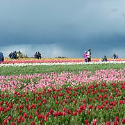 Wooden Shoe Tulip Farm, Oregon.