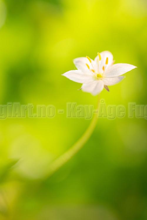 Arctic starflower (Trientalis europæa)   Skogsstjerne