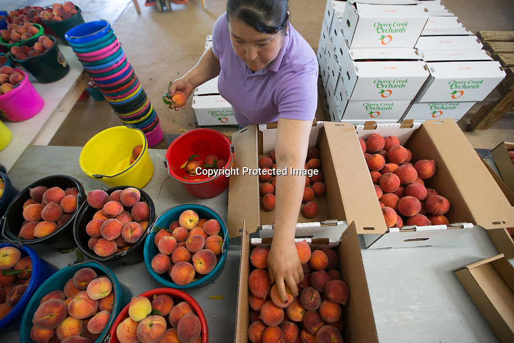 Cherry Creek Orchards employee Griselda Nava sorts freshly picked peaches into 25 pound boxes Wednesday morning at the Pontotoc orchard.