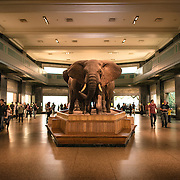 The great mammals hall at the Museum of Natural History in New York's Upper West Side neighborhood, adjacent to Central Park.