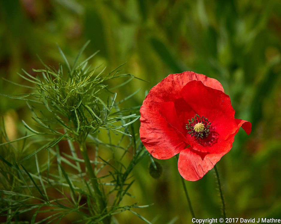 Red Poppy flower. Backyard spring nature in New Jersey. Image taken with a Leica T camera and 55-135 mm lens (ISO 100, 135 mm, f/5, 1/2000 sec).