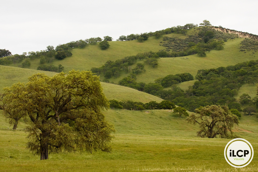 Oak (Quercus sp) trees in pasture near Pinnacles National Park, California