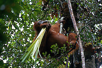 A Bornean orangutan (Pongo pygmaeus) named Beth chews on the fronds of a Pandanus plant