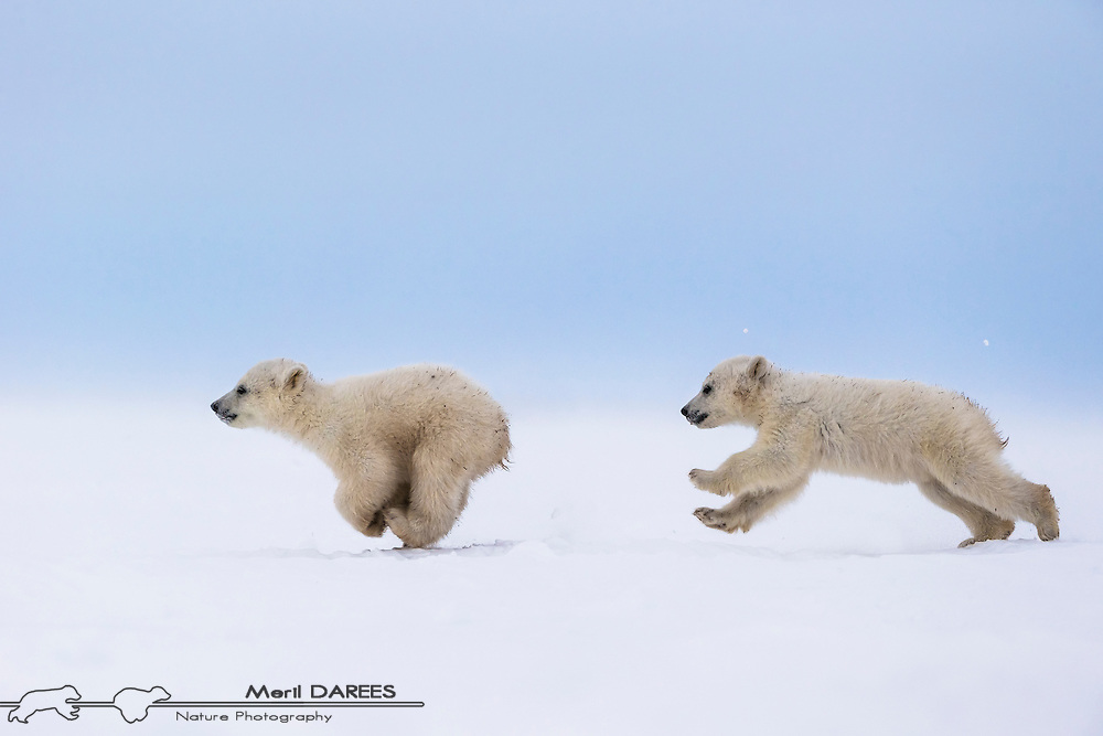 Polar bear cubs in the middle of a chase. Hudson bay, Churchill Area, Manitoba, Canada.