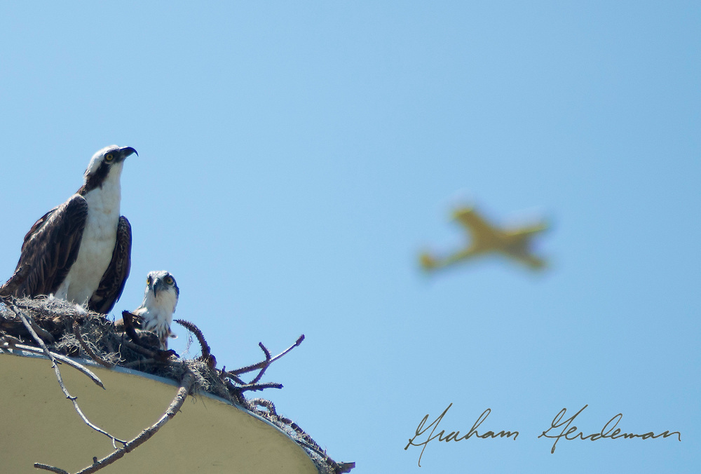 a nesting osprey seems to gaze up at a passing plane