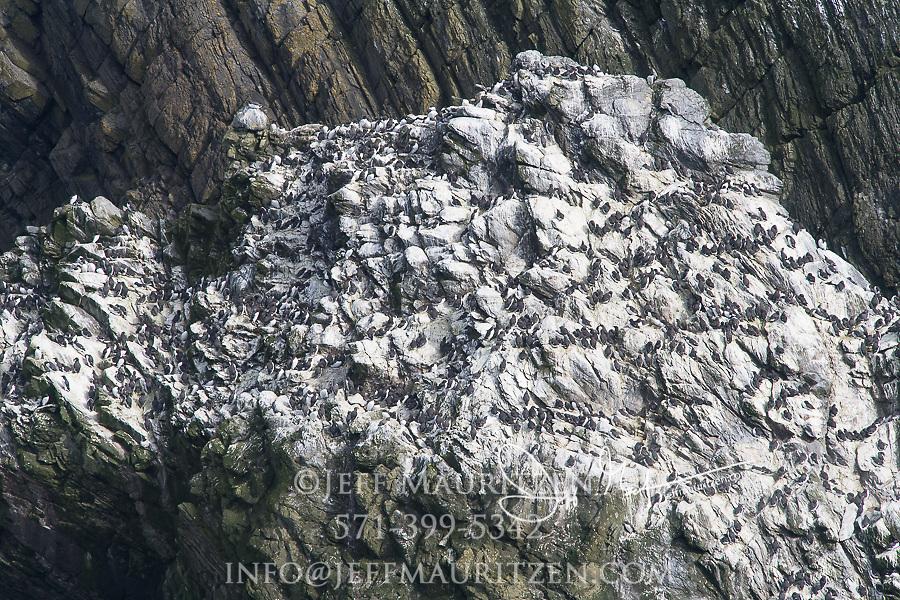 Common murres gather on a rock along Sumberg Head, Mainland, Shetland islands, Scotland.