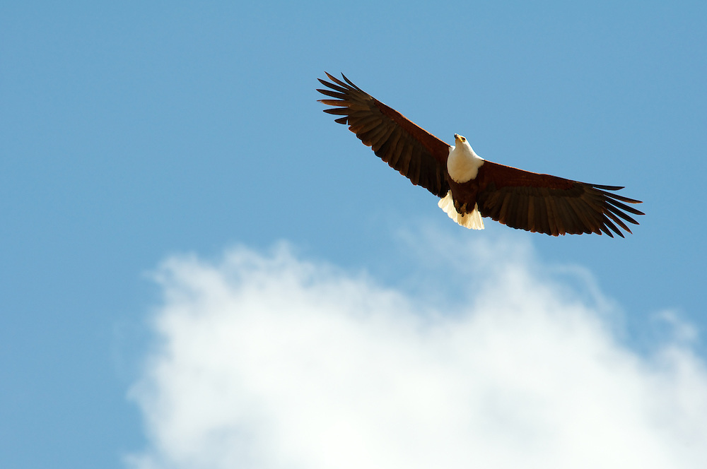 An African fish eagle soars overhead.