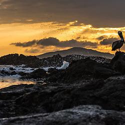 Pelican on the rocks at sunset, Isla Isabela, Galapagos, Ecuador.