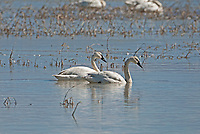 Utah is a resting stop over for Tundra Swans in early spring this pair swims in the open waters of the Bear River Bird Refuge in northern Utah.