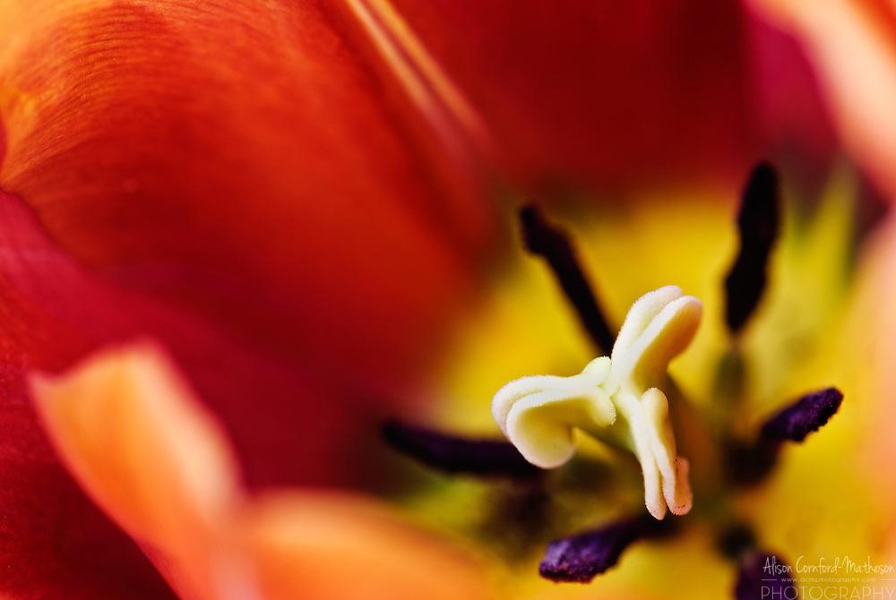 Single Late Tulip 'Malaika' Keukenhof Spring Tulip Gardens, Lisse, The Netherlands.