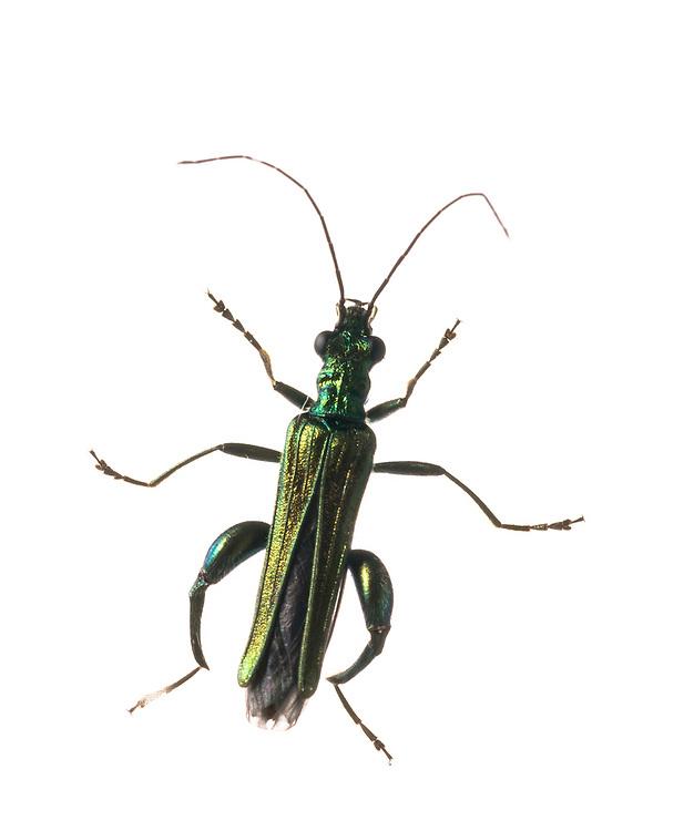 Oedemera nobilis, thicked legged flower beetle, Arnos Vale Cemetery, Bristol May 2012 BioBlitz