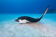 spotted eagle ray, Aetobatus narinari, resting on the bottom at Eagle Ray City, Saipan, Commonwealth of Northern Mariana Islands, Micronesia ( Western Pacific Ocean )