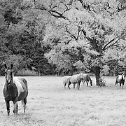 Horse Pasture And Oak Tree - Kelsey, Texas - Infrared Black & White