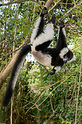 Black-and-white ruffed lemur (Varecia variegata) in the forest of Palmarium Reserve, Madagascar.
