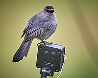 Gray Catbird Image taken with a Nikon D5 camera and 600 mm f/4 VR lens