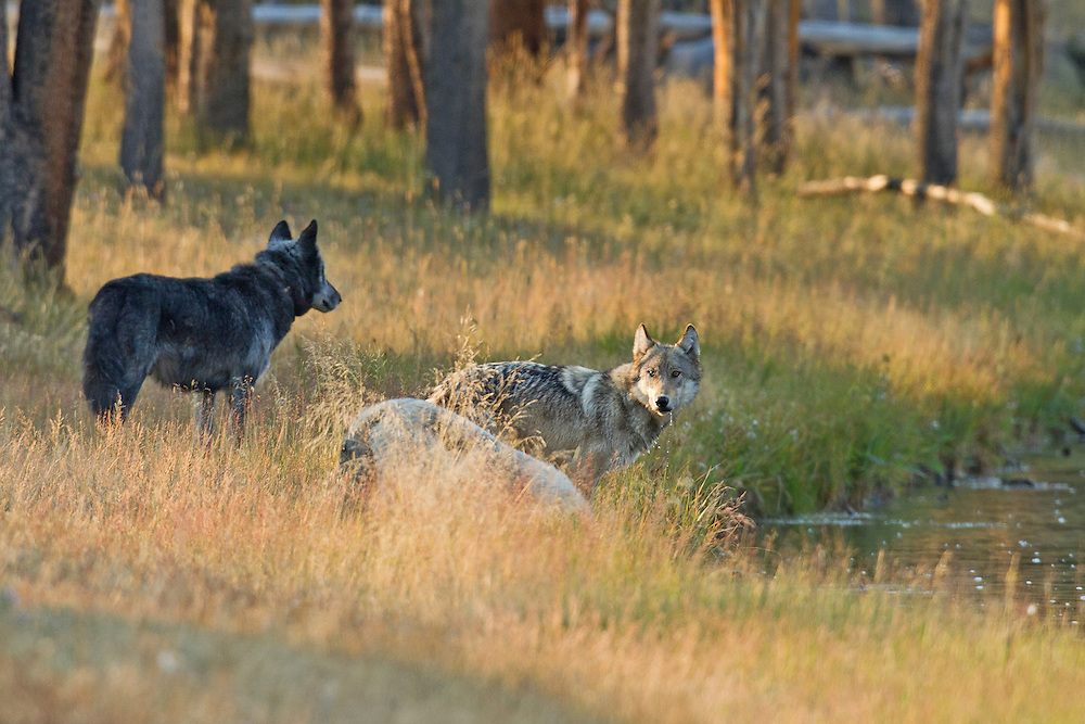 Two members of Yellowstone's Canyon Pack, including the white alpha female, enjoy an early morning drink along the Firehole River, while alpha male 712M stands guard.