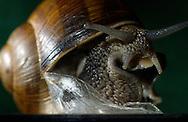 Deutschland, DEU, 2002: Nach Beendigung ihrer Trockenstarre durchbricht eine Weinbergschnecke (Helix pomatia) die getrocknete Schleimschicht vor der Gehaeusemuendung. So hat sie sich vor dem austrocknen geschuetzt. Auf diese Weise kann eine Schnecke mehrere Wochen ohne Nahrungsaufnahme ueberstehen. | Germany, DEU, 2002: Edible snail (Helix pomatia) breaking through it's dried out layer of slime, ending the dry rest. During a dry rest a snail closes it's snail-shell with a thin slime layer. It is a protection against drying-out. That way a snail can outlast some weeks without eating. |