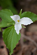 Large-flowered Trillium (Trillium grandiflorum), blooming in northern Wisconsin