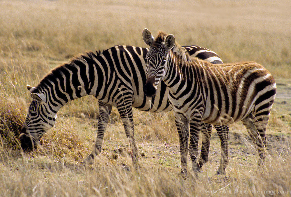 Africa, East Africa, Tanzania, Ngorongoro Crater. A zebra mother and foal grazing.