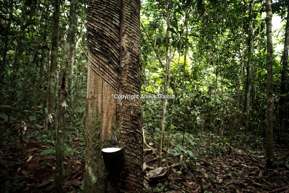 Hevea, arbre a caoutchouc