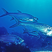 Tarpon inhabit open areas around reefs in Tropical West Atlantic; picture taken Grand Cayman.