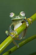 Glass Frog (Espadarana callistomma) Family Centrolenidae. CAPTIVE<br /> Chocó Region of NW ECUADOR. South America