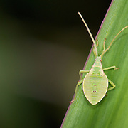 Katydid Nymph. The family Tettigoniidae, known in American English as katydids and in British English as bush-crickets. It is part of the suborder Ensifera and the only family in the superfamily Tettigonioidea. They are also known as long-horned grasshoppers..