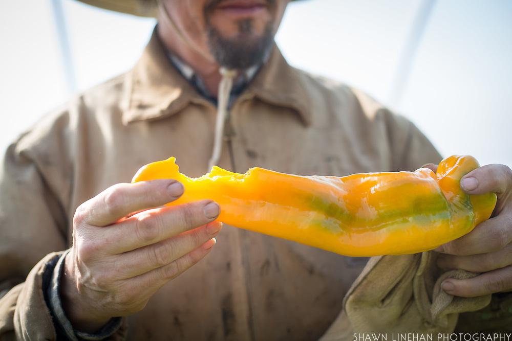 Farmer hands holding a yellow pepper.