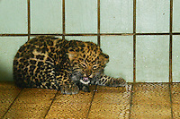 LYON, FRANCE - OCTOBER 15:  Birth unprecedented in Zoo of Lyon: a &quot;panthere de l'Amour&quot; on October 15, 2013 in Lyon, France. <br /> This baby panther was born at the zoo in Lyon on 21 August<br /> It has no name yet, because the city of Lyon hosted a vote that people choose.<br /> This is the 20th birth in the zoo since the beginning of the year.<br /> This &quot;panth&egrave;re de l&rsquo;Amour&quot; is born by two young Siberian felines arrived at the zoo in Lyon there are less than 3 years.<br /> &nbsp;A species in danger of extinction<br /> The appearance of the animal creates a new line from the captive population of this species in danger of extinction today it no longer counts as 30-35 Panthers this type in nature.<br /> (Photo by Bruno Vigneron/Getty Images)