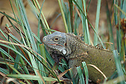 "Iguana (""yuana""); Cristoffel National Park, Curaçao, Netherlands Antilles. [captive]"